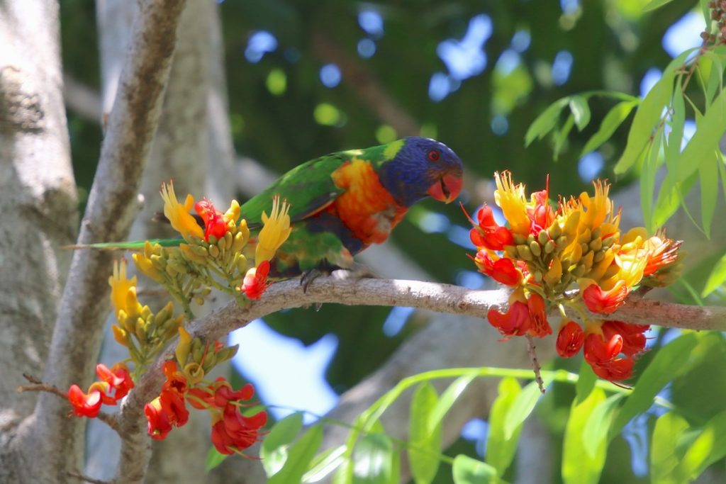 Image of lorikeet in black bean tree