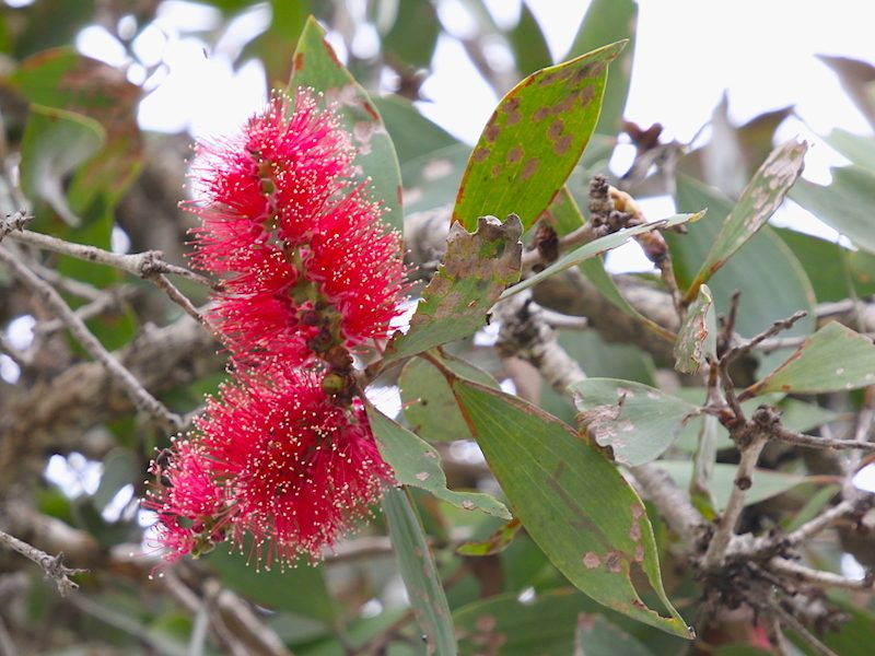 "Image of ""bottlebrush"" flowers"