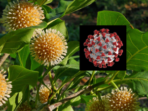 Image of the Nauclea flowers and coronavirus